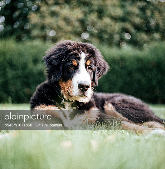 Bernese mountain dog - p545m1071860 by Ulf Philipowski