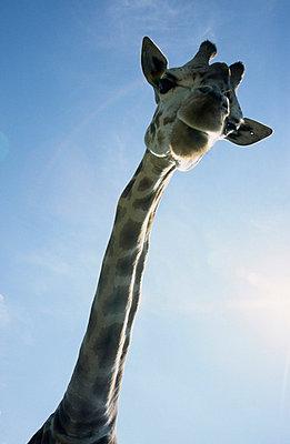 Giraffe - p0451219 by Jasmin Sander