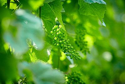 Green grapes  - p1312m1333154 by Axel Killian