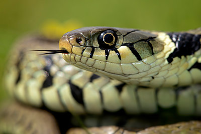 Portrait of grass snake - p300m1140862 by Mark Johnson