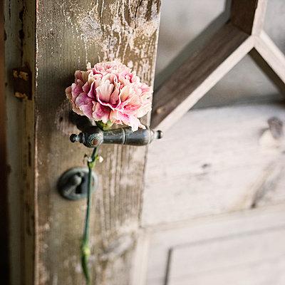 Pink carnation on door knob - p312m1024609f by Eveline Johnsson