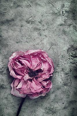 Getrocknete Rose     - p450m1574830 von Hanka Steidle