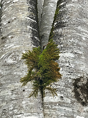 Green plant on grey tree trunk - p1048m2016460 by Mark Wagner