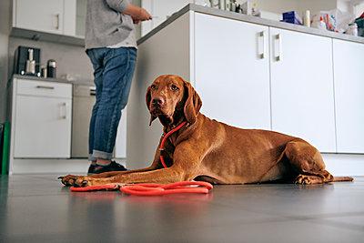 Vizsla liegt in der Küche - p227m2008238 von Uwe Nölke