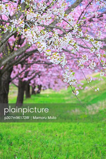 Cherry blossoms - p307m961728f by Mamoru Muto