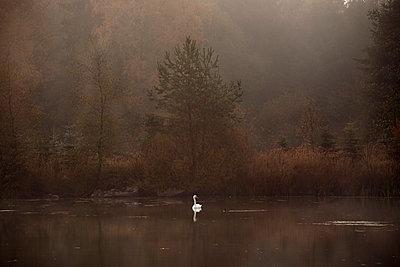 Swan on lake in the fog - p1012m1137112 by Frank Krems