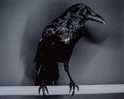 Raven, close-up - p1082m2288029 by Daniel Allan