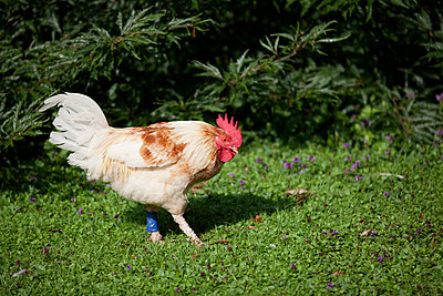 Cock in a park - p1204m1004870 by Michael Rathmayr