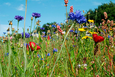 Field of red; blue and yellow flowers - p6810018 by Sandrine Léon