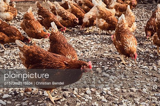 Happy chickens, Free range - p1573m2178934 by Christian Bendel