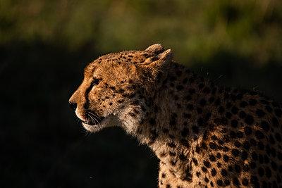 cheetah in Masai Mara national reserve - p1166m2248884 by Cavan Images
