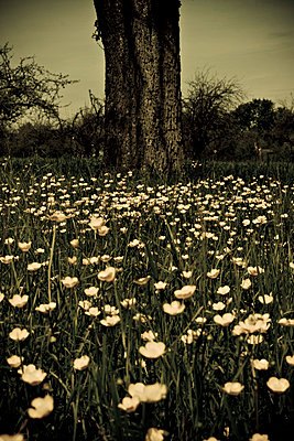 Germany, Knittlingen, Wildflowers and tree trunk - p300m878161 by Daniel Weisser