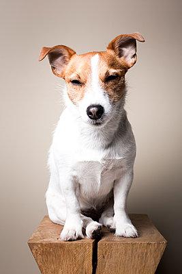 Parson Jack Russel Terrier - p1076m1065252 von TOBSN