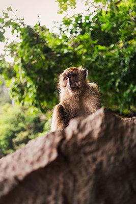 Affe allein - p1271m1590334 von Maurice Kohl