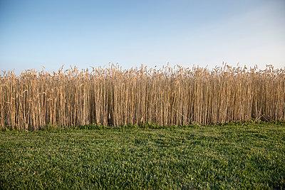 Field of wheat - p555m1522990 by John Fedele