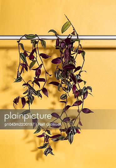 Hängepflanze - p1043m2230197 von Ralf Grossek