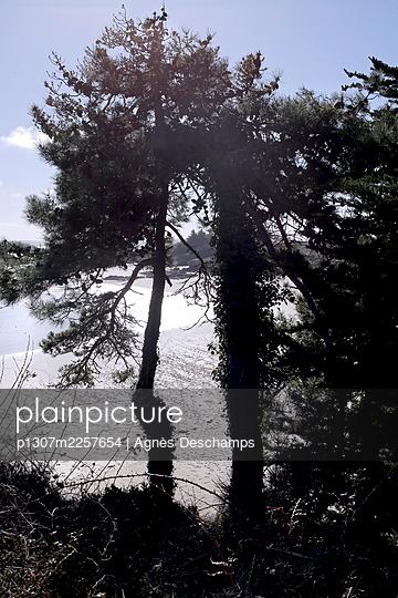 Maritime Pine on the Beach - p1307m2257654 by Agnès Deschamps