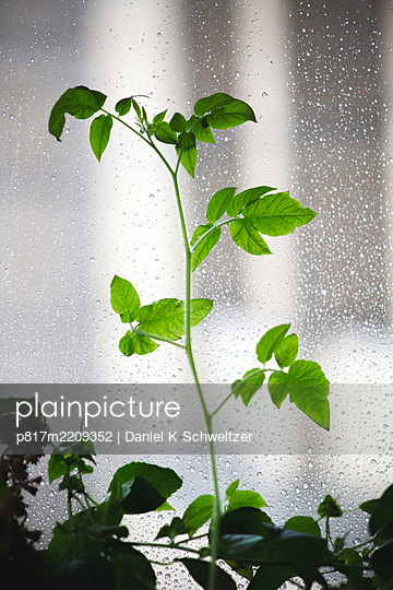 Foliage plant at the window with waterdrops - p817m2209352 by Daniel K Schweitzer