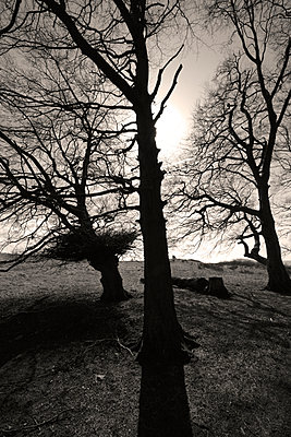 Silhouetten von Bäumen - p1121m904087 von Gail Symes