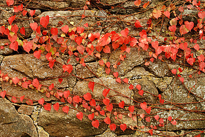 Red leaves - p6810066 by Sandrine Léon