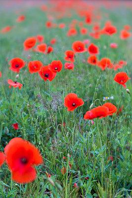 Corn poppies in a field - p739m1588998 by Baertels