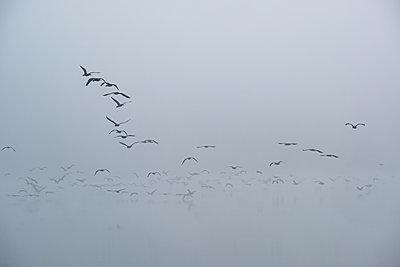 Cormorants in the autumn mist - p739m2039119 by Baertels