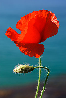 Red poppy flower growing on sea coast - p1580m2191507 by Andrea Christofi