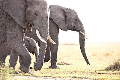 African Elephants - p533m1215496 by Böhm Monika