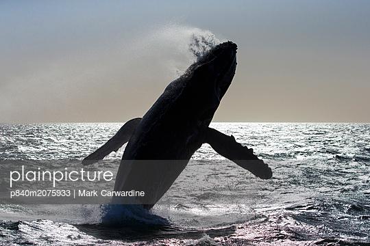 p840m2075933 von Mark Carwardine