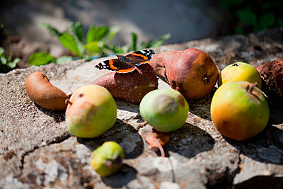 Red Admiral on rotten fruits - p300m1019250f by Laura Stolfi