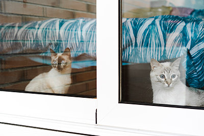 Two domestic cats looking through window - p300m2273481 by VITTA GALLERY