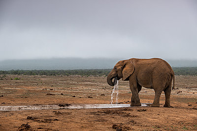 African Elephant - p1655m2233684 by lindsay basson