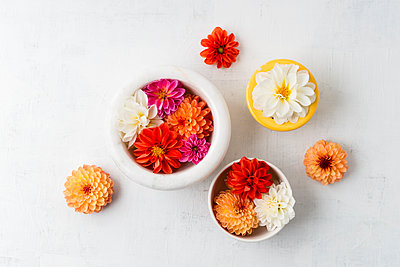 Bowls with blossoms of different sorts of dahlias on white ground - p300m1157192 by Mandy Reschke
