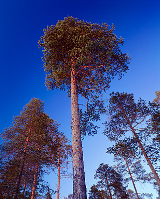 Trees against sky low angle view - p5751485f by Roine Magnusson