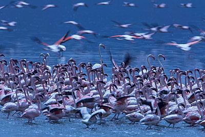 Flamingos - p745m740108 by Reto Puppetti