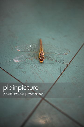 Dead dragonfly on floor - p728m2219728 by Peter Nitsch
