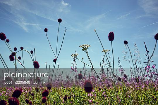 Flowering meadow in the summer - p851m2205848 by Lohfink