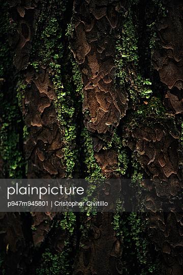 Tree bark - p947m945801 by Cristopher Civitillo