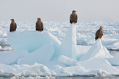 White-Tailed Eagle, Haliaeetus albicilla, on frozen bay in winter. - p1100m1520160 by Mint Images