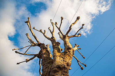 Pollarded trees with power lines through branches - p1047m1424393 by Sally Mundy