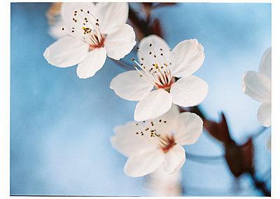 Sakura - p1184m992586 von brabanski