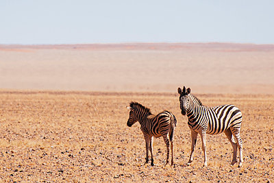 Zebras in the desert - p1065m885965 by KNSY Bande