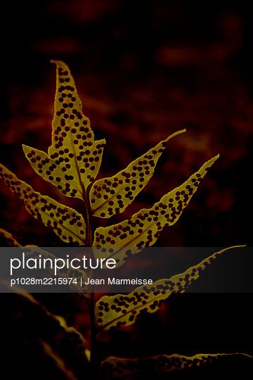 Fern spores (Cyrtomium sp.) - p1028m2215974 von Jean Marmeisse