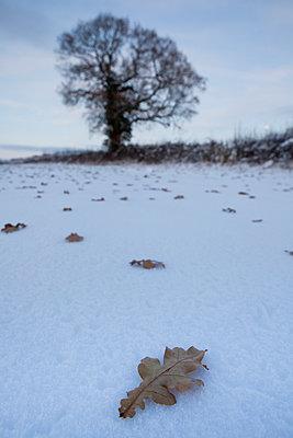 Leaves on snow - p1057m908341 by Stephen Shepherd