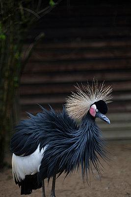 Crowned crane - p1683m2272022 by Luisa Zanzani