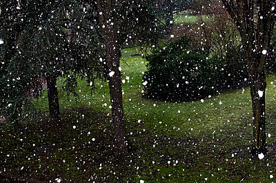 Snowflakes in the garden - p951m970843 by Caterina Sansone