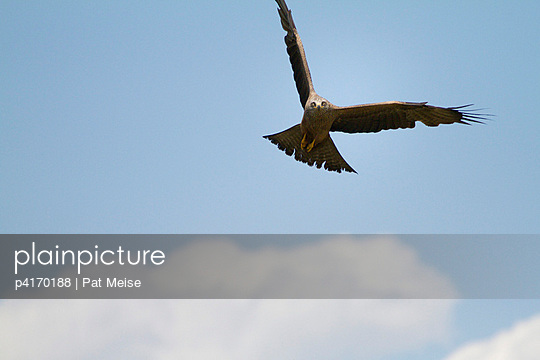 Red kite in flight - p4170188 by Pat Meise
