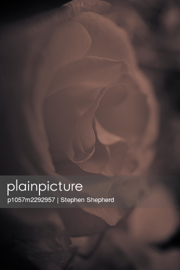 A single rose  - p1057m2292957 by Stephen Shepherd