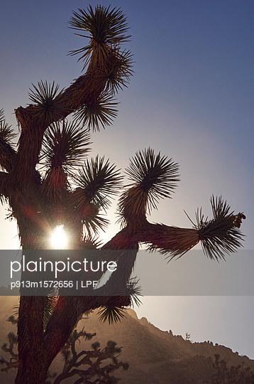 Josua-Palmlilie - p913m1572656 von LPF