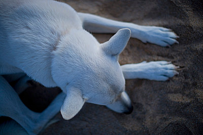 Above perspective of a white dog laying on a beach.   - p343m1089421 by Woods Wheatcroft